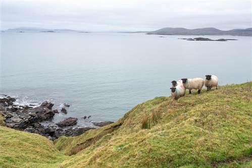 Atlantic Sheep