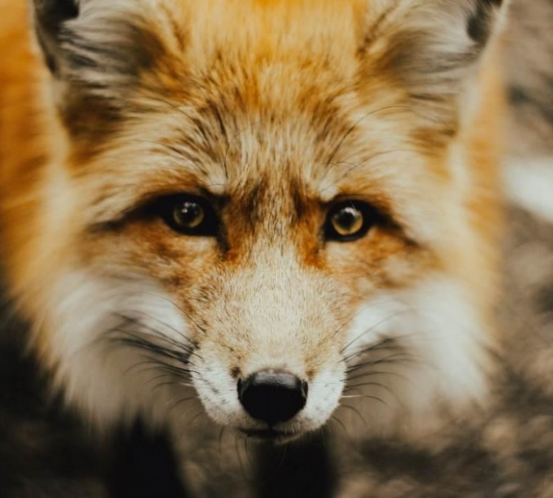 clover fox