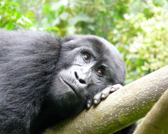 11 Gorilla