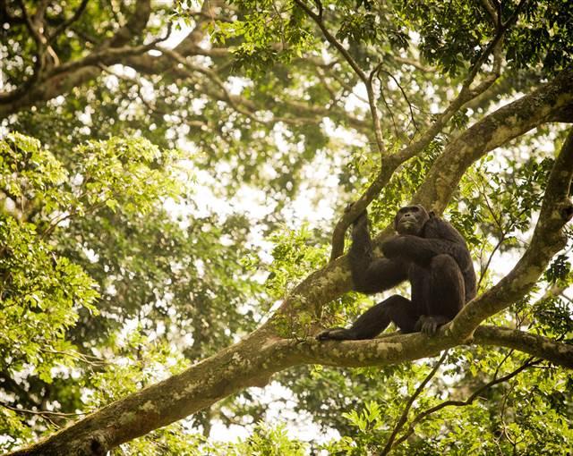 5 Chimp