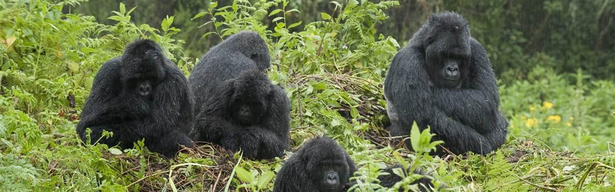 19 Gorilla