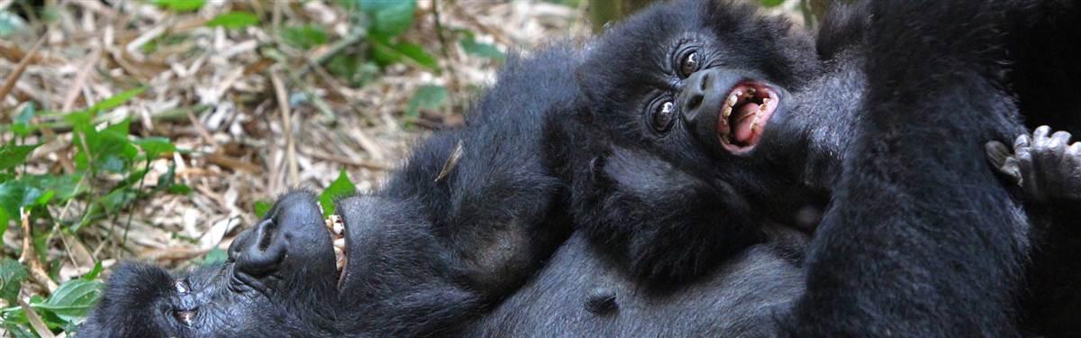 20 Gorilla