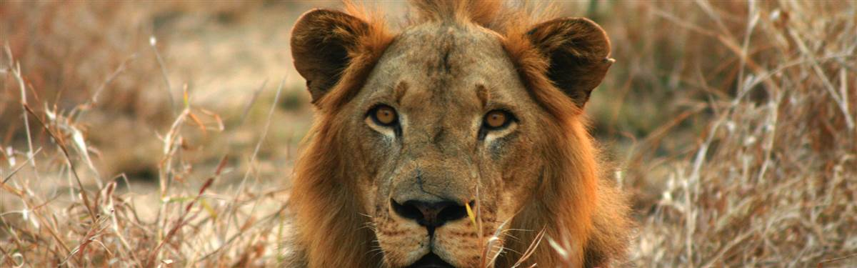 Gorongosa National Park  Lion