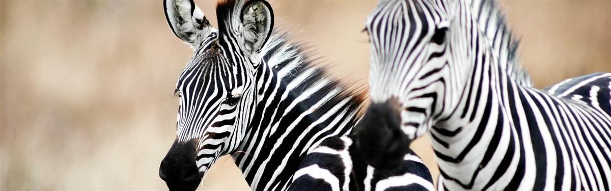Tanzania Zebras 004