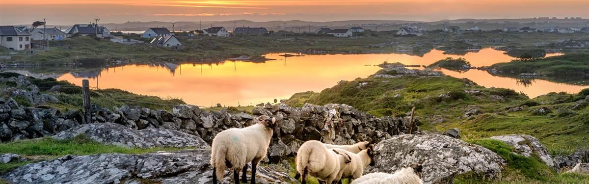 WOW Sunset Sheep