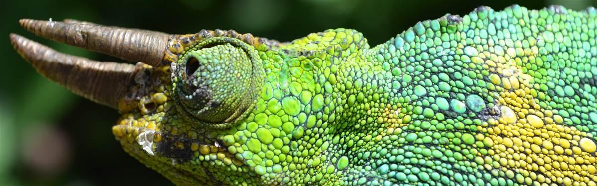 chameleon UgandaRwanda