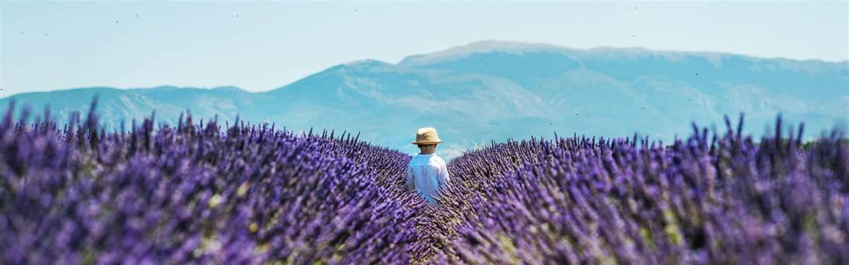 lavender france europe
