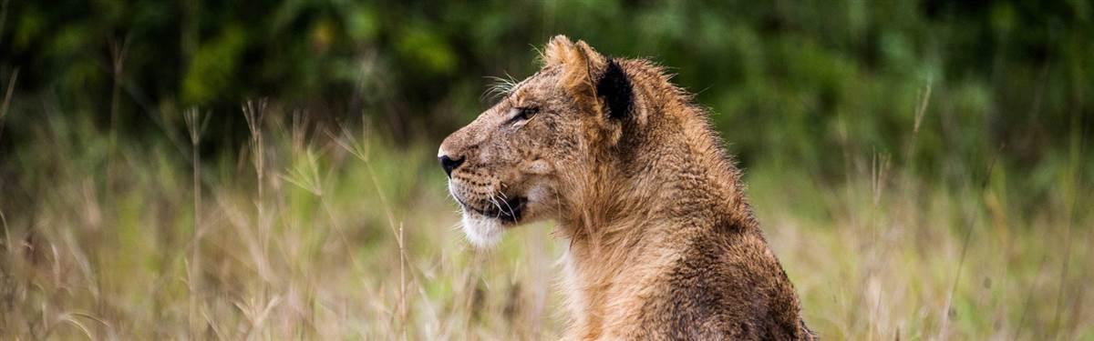 lionchameleon UgandaRwanda