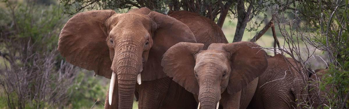 loisaba tented camp   wildlife   elephan