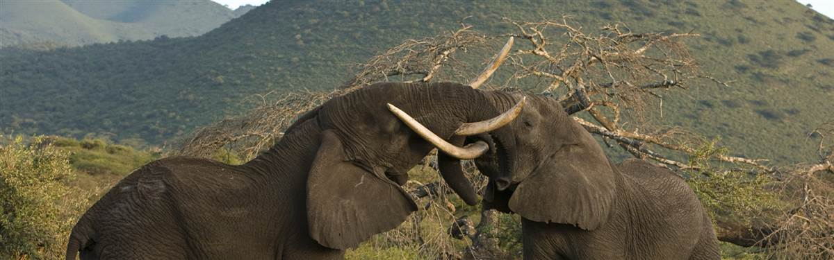 ol donyo lodge kenya elephants fighting