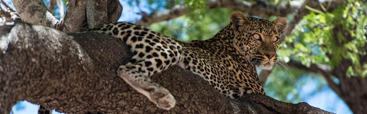 finch hatton kenya leopard