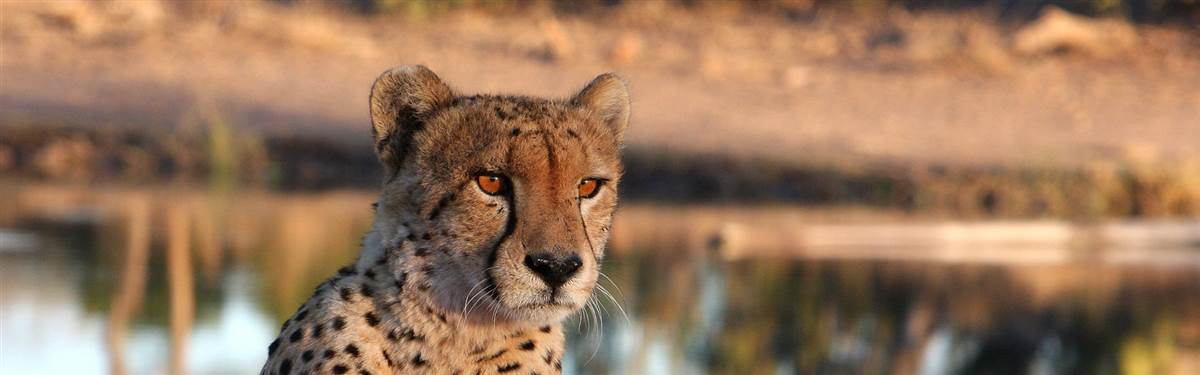 rsz namibia africa and beyond  cheetah