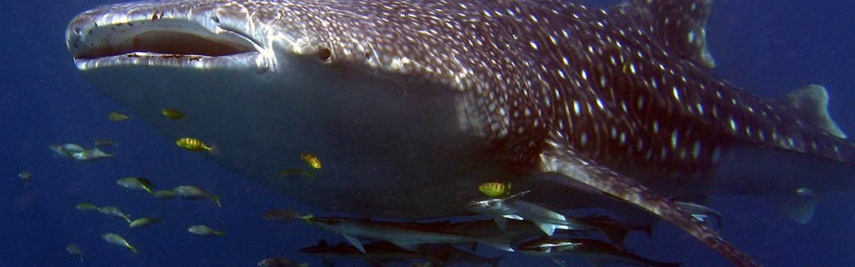 sal salis ningaloo reef whale shark 1