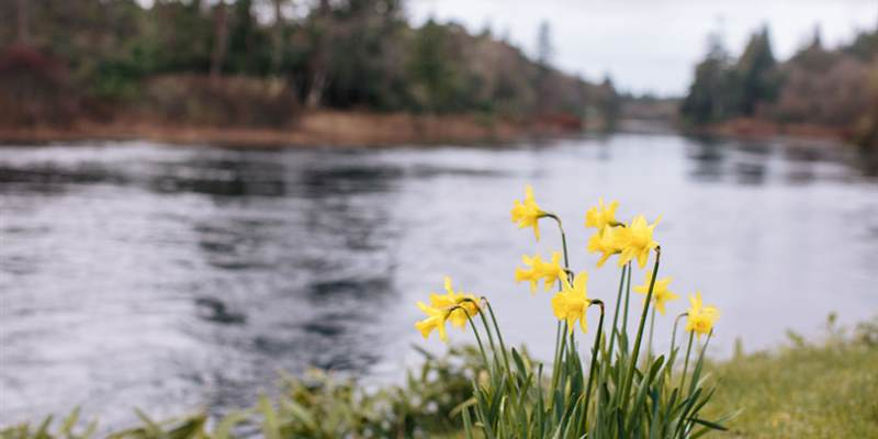 Daffodils by the river