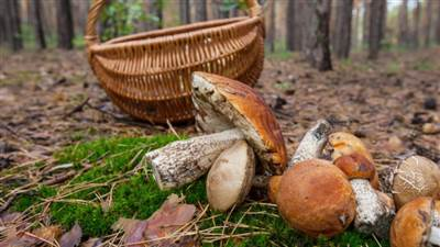 foraging for mushrooms 828x552