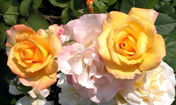 Rose is a rose is a rose is a rose