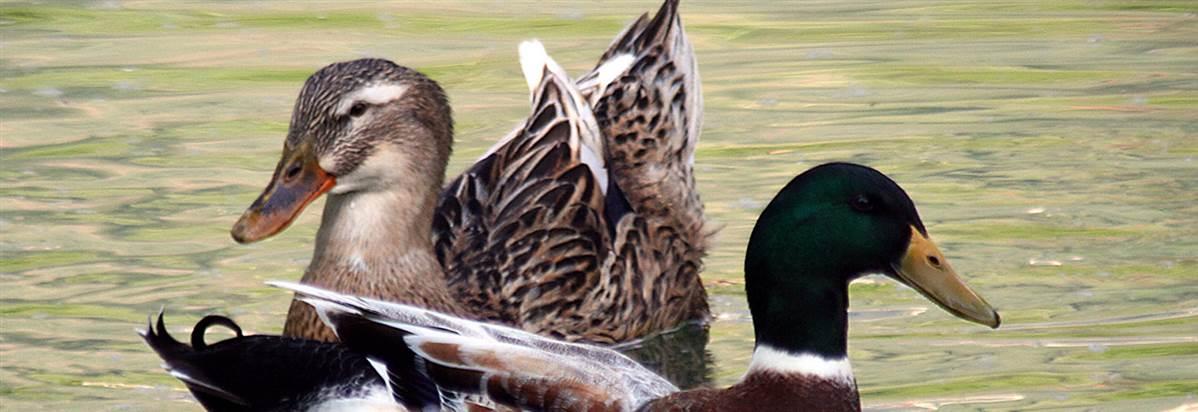 Bruntwood Park Ducks Header