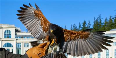 Falconry at Powerscourt Hotel