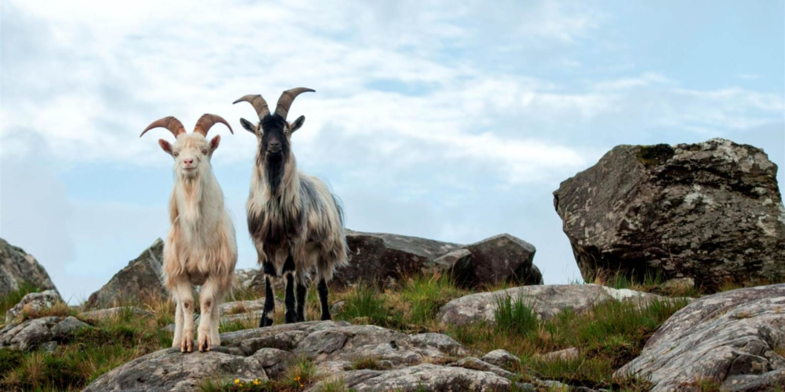 Wild Goats Ring of Kerry