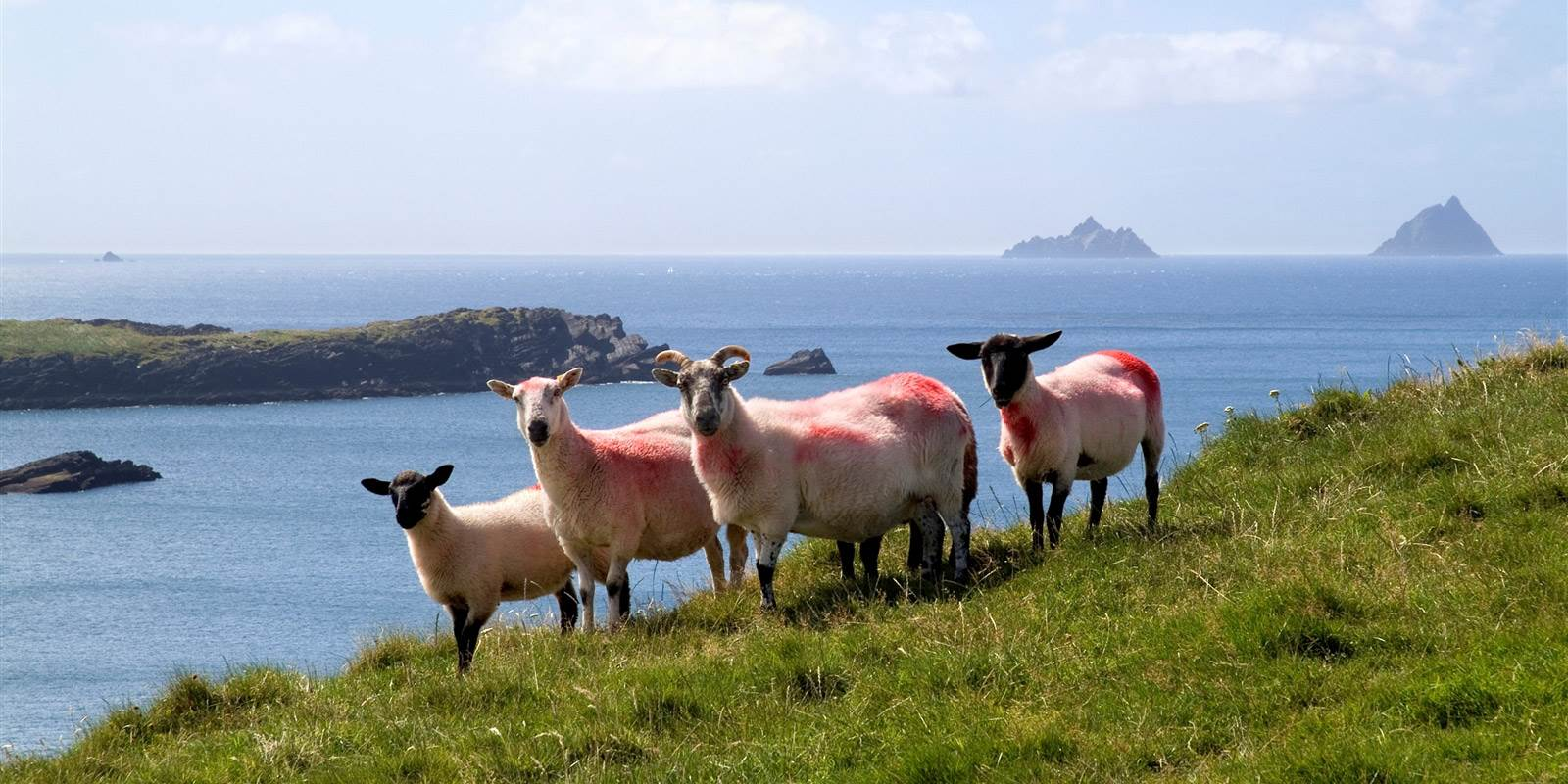 Sneem Sheep