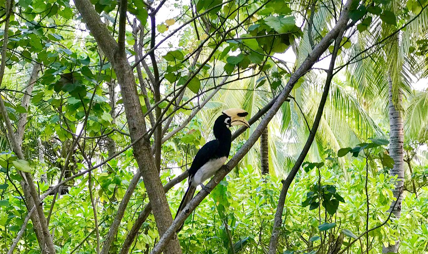 Hornbills at Song Saa Private Island