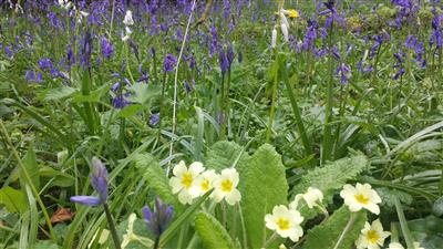 Primroses and Blue Bells