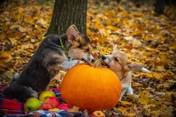 pumpkins dog stock