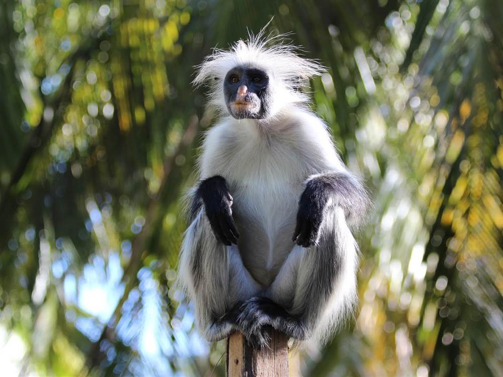 White Sand Monkey